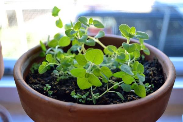 uzgoj origana u tegli