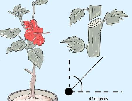 hibiskus orezivanje