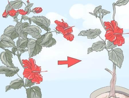 kako se orezuje hibiskus