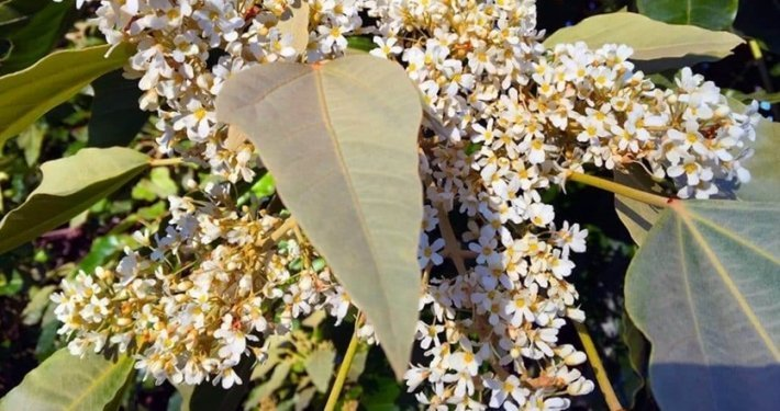 cvet-kukui-biljke-sa-havaja